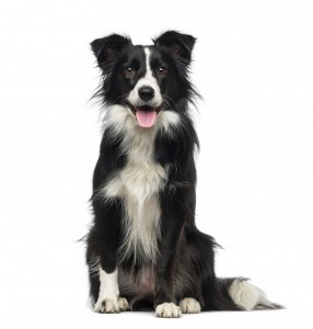Border Collie (2 years old)